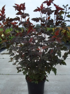 Physocarpus opulifolius 'Lady in Red' Blaasspirea