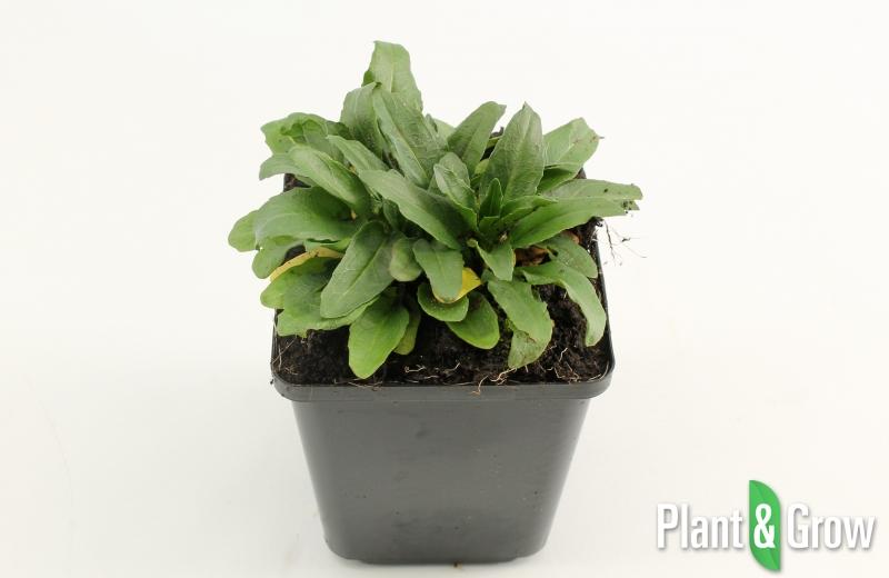 physostegia virginiana bouquet rose kopen plant amp grow