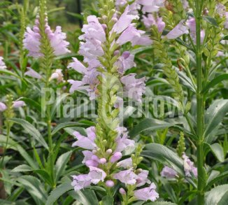 Physostegia virginiana 'Bouquet Rose'  Scharnierbloem