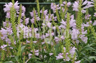 Physostegia virginiana 'Bouquet Rose' | Scharnierbloem