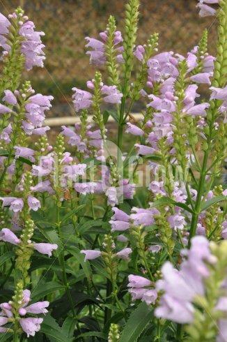 Physostegia virginiana 'Bouquet Rose' | Scharnierbloem
