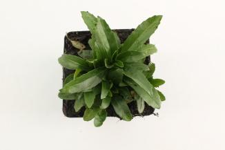 Physostegia virginiana 'Summer Snow'   Scharnierbloem (pot 9x9cm)