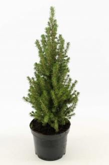 Picea glauca 'Conica Perfecta' | Dwergspar (Ø 17cm pot)