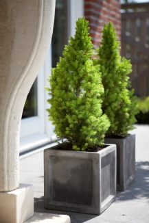 Picea glauca 'Conica Perfecta' | Dwergspar