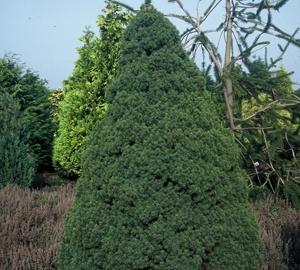 Picea glauca 'Conica Perfecta' Dwergspar