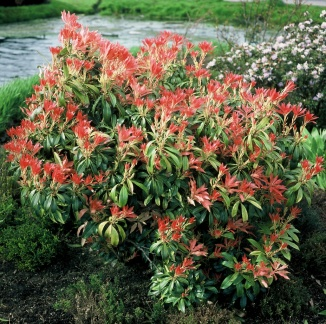 Pieris 'Forest Flame' | Lavendelheide