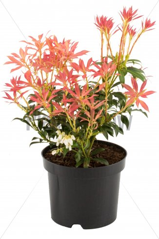 Pieris 'Forest Flame' | Lavendelheide Pieris 'Forest Flame' | Lavendelheide (Ø 17cm pot)