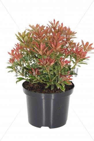 Pieris japonica 'Carnaval' | Lavendelheide (Ø 17cm pot)