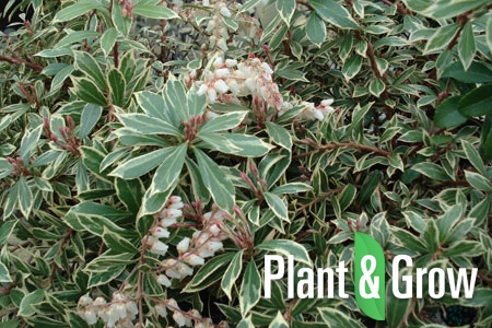 Pieris japonica 'Little Heath Green' | Lavendelheide