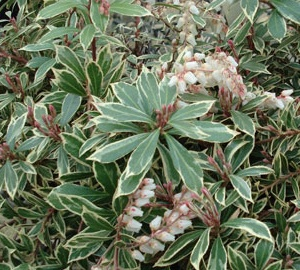 Pieris japonica 'Little Heath Green' Lavendelheide