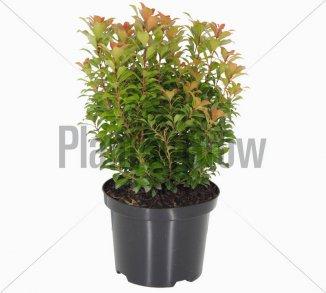 Pieris japonica 'Little Heath Green' | Lavendelheide (Ø 17cm pot)