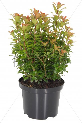 Pieris japonica 'Little Heath Green' | Lavendelheide (Ø 17cm pot)