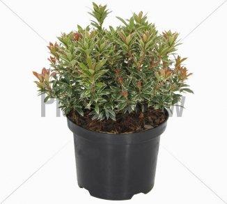 Pieris japonica 'Little Heath' | Lavendelheide (Ø 17cm pot)