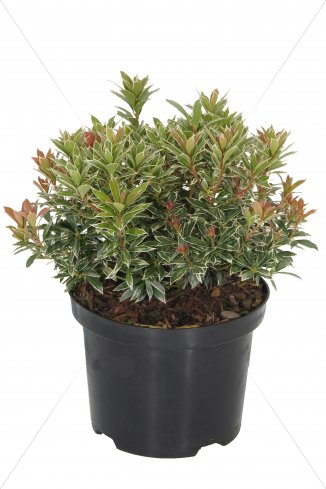 Pieris japonica 'Little Heath' | Lavendelheide (Ø 17cm pot)