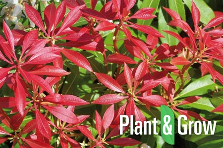 Pieris japonica 'Mountain Fire' | Lavendelheide