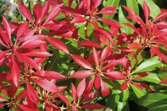 Pieris japonica 'Mountain Fire'   Lavendelheide