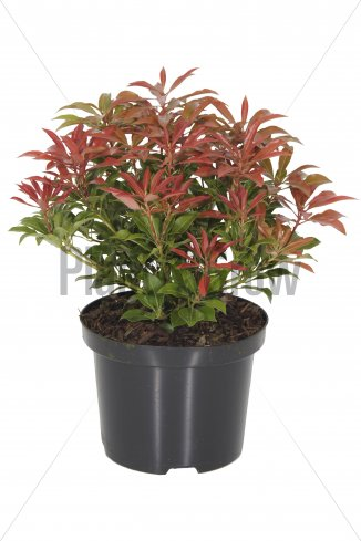 Pieris japonica 'Mountain Fire' | Lavendelheide (Ø 17cm pot)