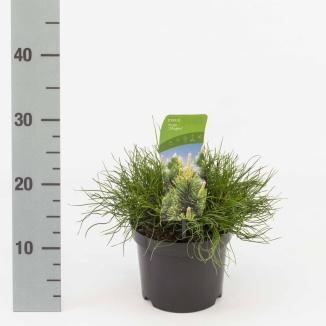 Pinus mugo mughus | Bergden (Ø 17cm pot)