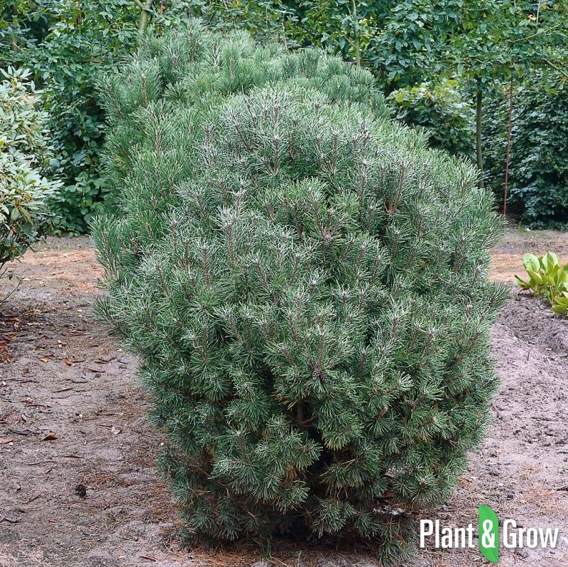 pinus mugo mughus bergden kopen plant grow. Black Bedroom Furniture Sets. Home Design Ideas