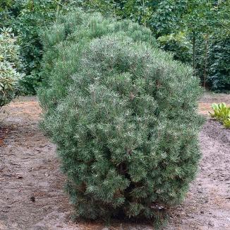 Pinus mugo mughus | Bergden