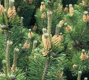 Pinus mugo mughus Bergden