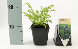 Polemonium caeruleum | Jacobsladder (pot 9x9cm)