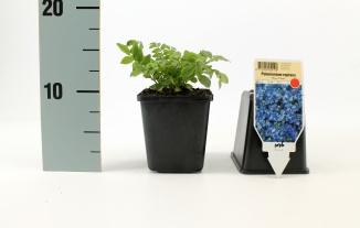 Polemonium reptans 'Blue Pearl' | Kruipende jacobsladder (pot 9x9cm)