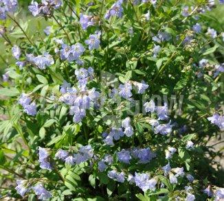 Polemonium reptans 'Blue Pearl' Kruipende jacobsladder