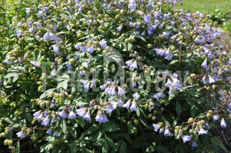 Polemonium reptans 'Blue Pearl' | Kruipende jacobsladder