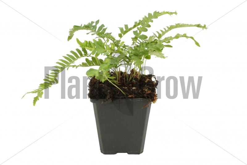 Polypodium vulgare | Eikvaren