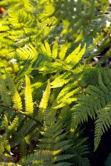 Polystichum setiferum | Naaldvaren