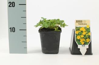 Potentilla aurea | Ganzerik (pot 9x9cm)