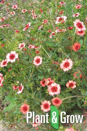 Potentilla nepalensis 'Miss Willmott' | Ganzerik