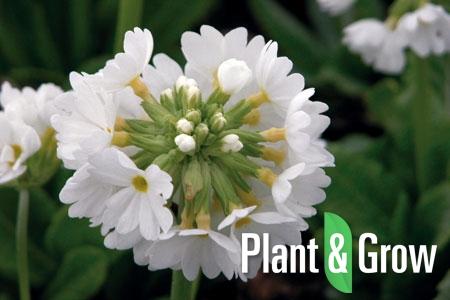 Primula denticulata 'Alba' | Sleutelbloem