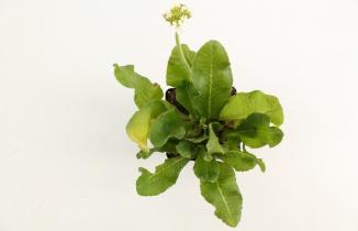 Primula denticulata 'Alba' | Sleutelbloem (pot 9x9cm)