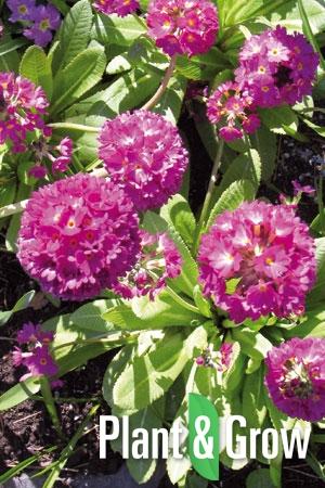 Primula denticulata 'Rubin' | Sleutelbloem
