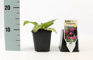 Primula denticulata 'Rubin' | Sleutelbloem (pot 9x9cm)