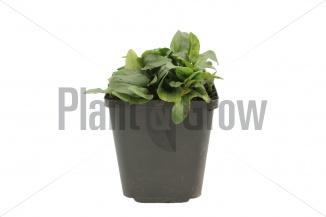 Prunella grandiflora 'Alba' | Brunel (pot 9x9cm) - VOORJAAR
