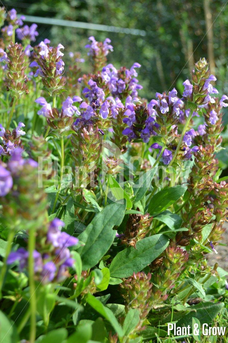 Prunella grandiflora | Bijenkorfje