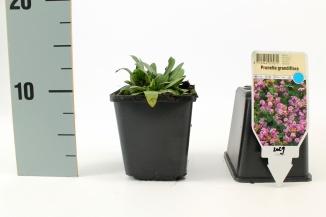 Prunella grandiflora | Bijenkorfje (pot 9x9cm)