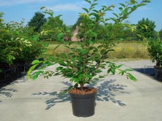Prunus 'Accolade' | Japanse sierkers (12L pot)