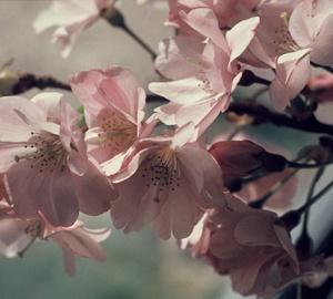 Prunus 'Accolade' Japanse sierkers