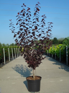 Prunus cerasifera 'Nigra' | Kerspruim (12L pot)