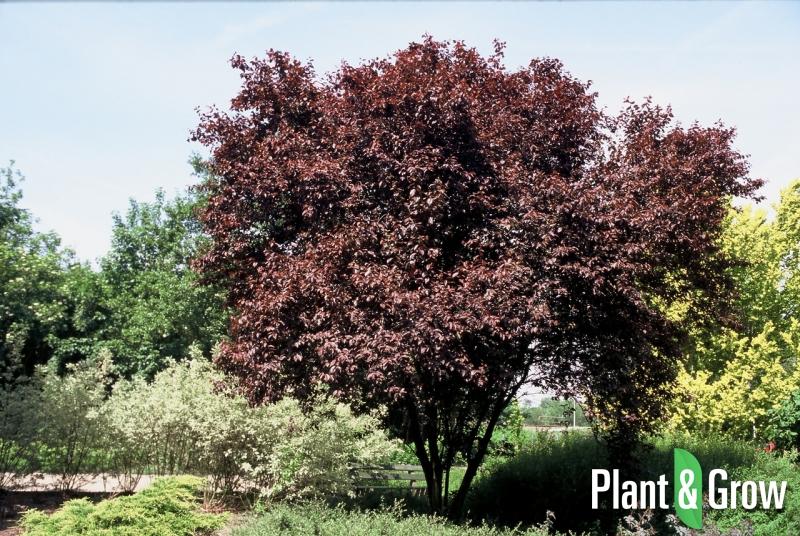 Prunus cerasifera 'Nigra' | Kerspruim als meerstammige boom/struik