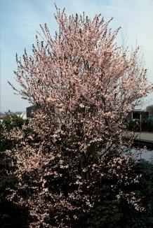 Prunus cerasifera 'Nigra' | Kerspruim bloemen