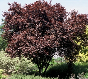 Prunus cerasifera 'Nigra' Kerspruim