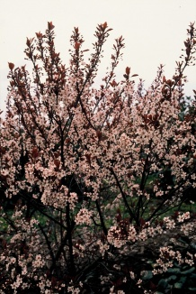 Prunus cistena | Purperbladige zandkers