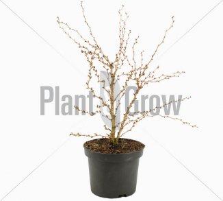 Prunus incisa 'Kojou No Mai' Chinese dwergsierkers