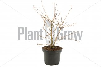 Prunus incisa 'Kojou No Mai' | Dwergsierkers (Ø 17cm pot)