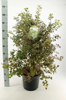 Prunus incisa 'Kojou No Mai' | Dwergsierkers (12L pot)